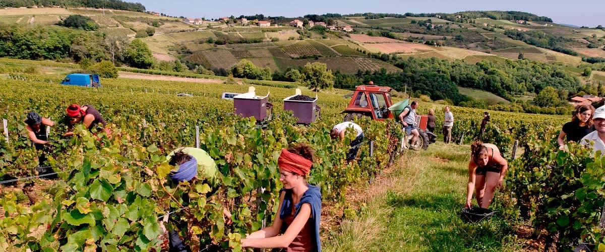 grape-harvest-beaujolais