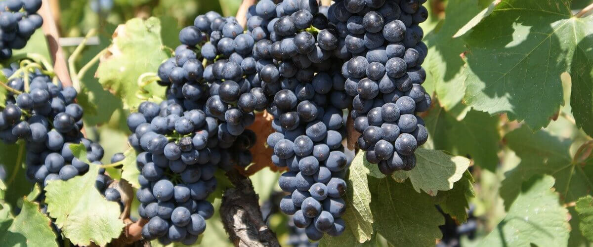 shiraz grape varietal