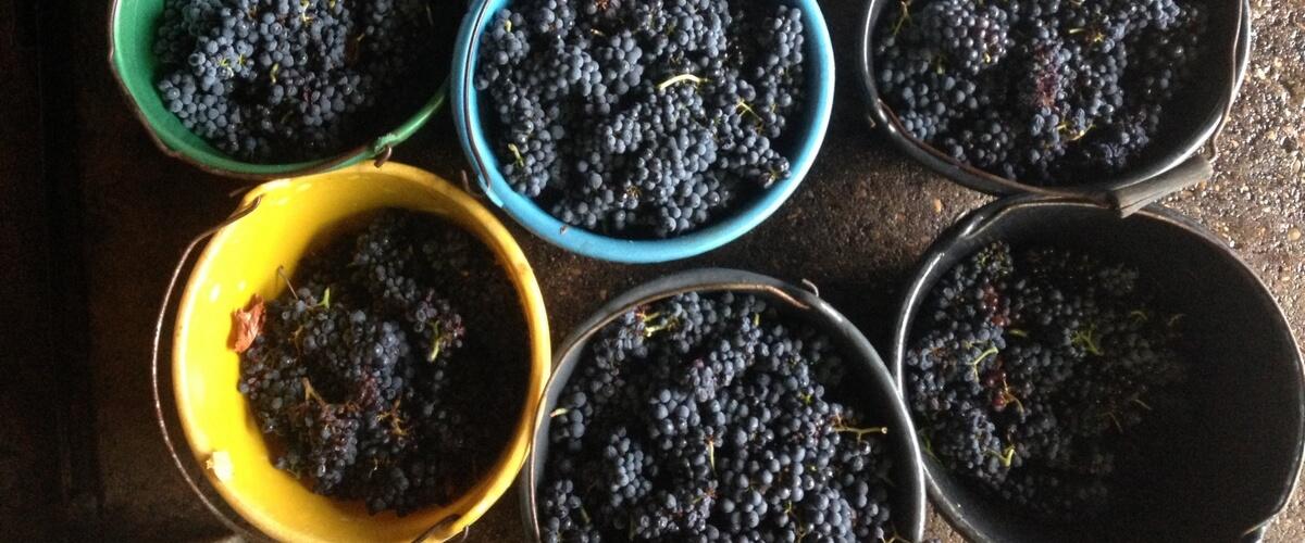 harvest-beaujolais