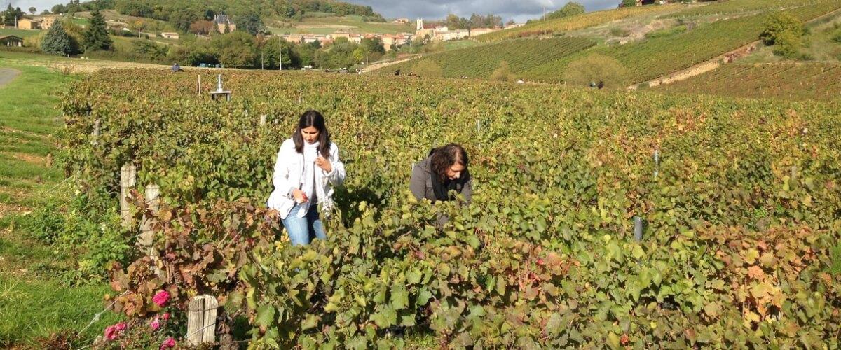 beaujolais-harvest