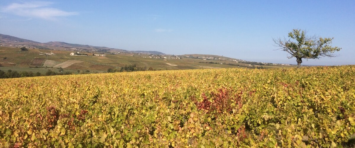 beaujolais-nouveau-wine-country