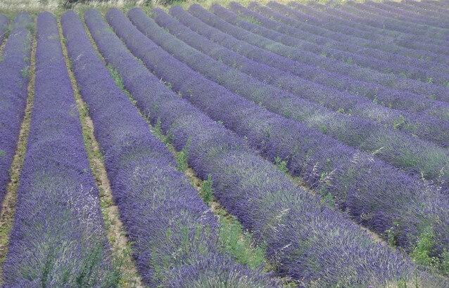 provence-lyon-lavender-tour